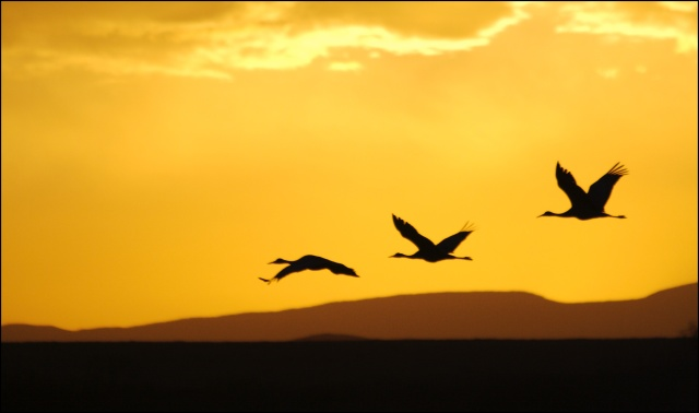 Sand Hill Crane Sunrise