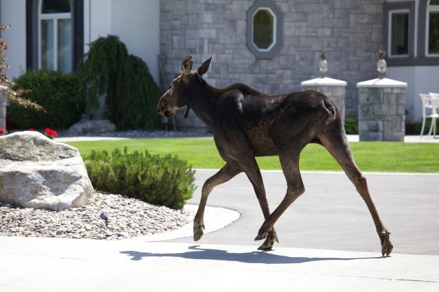 moose-in-town
